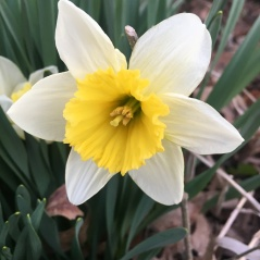 Daffodils are here!